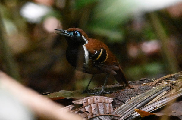 Ferruginous-backed Antbird