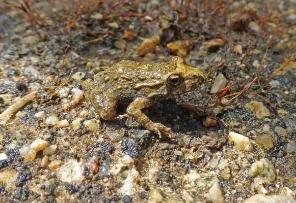 Discoglossus sardus - Tyrrheense schijftongkikker