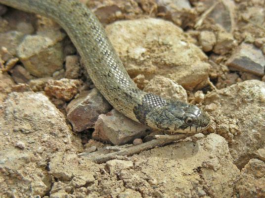 Macroprotodon brevis - Iberische mutsslang