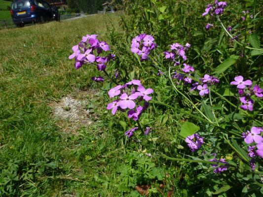 Hesperis matronalis - Damastbloem