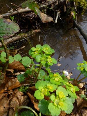 Chrysosplenium alternifolium - Verspreidbladig goudveil