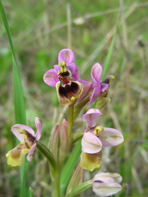 Ophrys tenthredinifera (grote spiegelophrys)