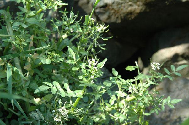 Rorippa microphylla - Slanke waterkers