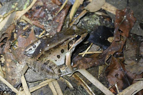 Leptodactylus guianensis