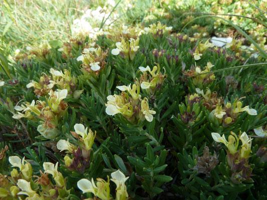 Teucrium montanum - Berggamander
