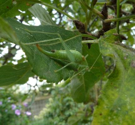 Meconema meridionale '- Zuidelijke boomsprinkhaan