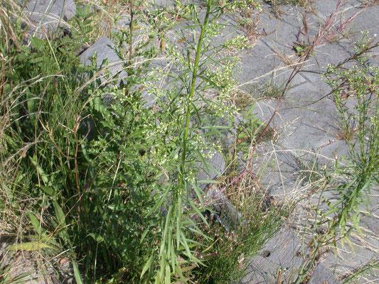 Erigeron canadensis - Canadese fijnstraal