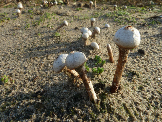 Tulostoma fimbriatum - Ruwstelige stuifbal