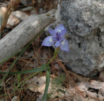 Iris cretensis