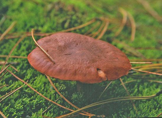 Lactarius rufus  - Rossige melkzwam