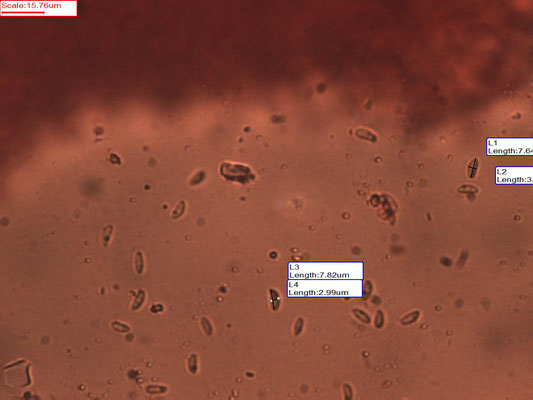 Crepidotus epibryus - Klein oorzwammetje