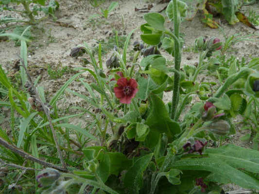 Cynoglossum officinale - Veldhondstong