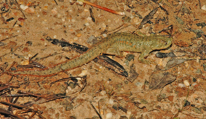 Pleurodeles waltl - Ribbensalamander