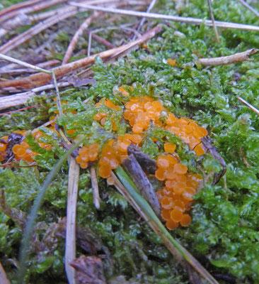 Byssonectria aggregata - Klein oranje zandschijfje