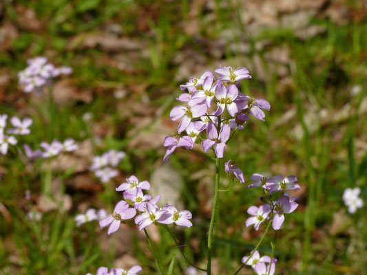 Cardaminopsis arenosa - Rozetsteenkers