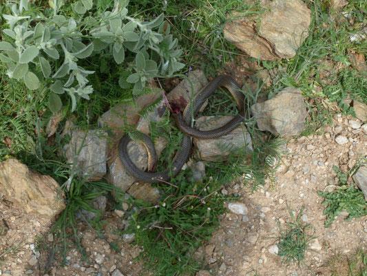 Dolichophis caspius aangevallen door slangenarend