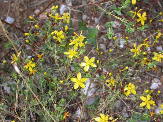 Hypericum hirsutum - Ruig hertshooi