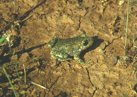 Pelodytes punctatus - Groengestipte kikker