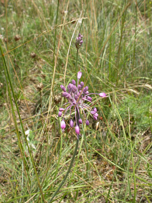 Allium carinatum - Berglook