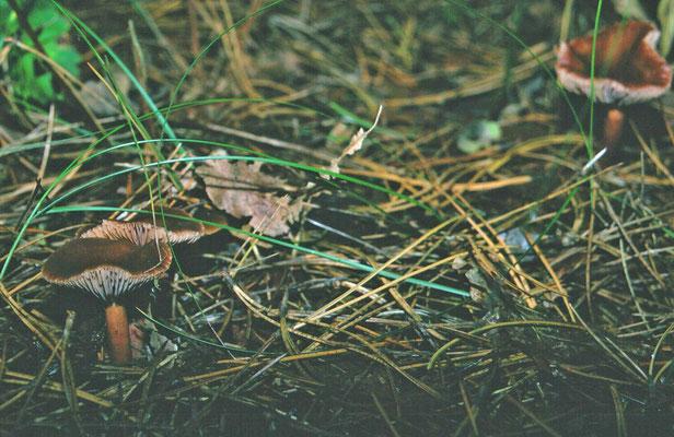 Collybia butyracea  var. butyracea - Roodbruine botercollybia