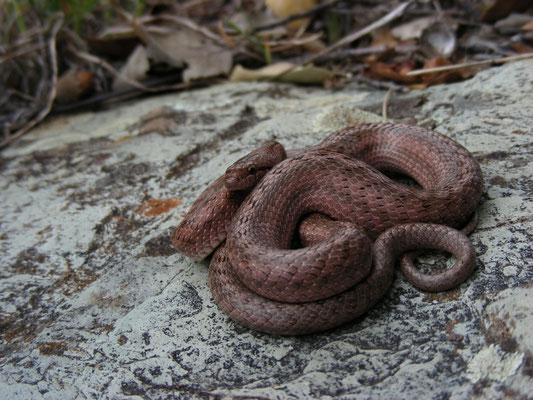 Girondische gladde slang