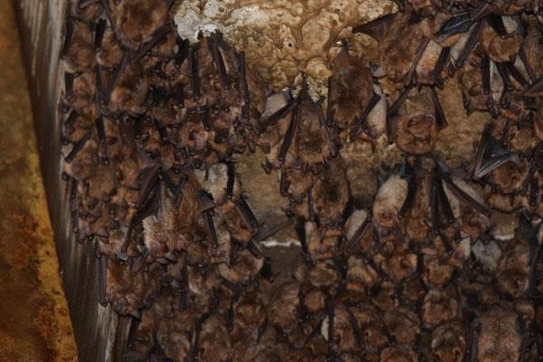 Ingekorven vleermuis