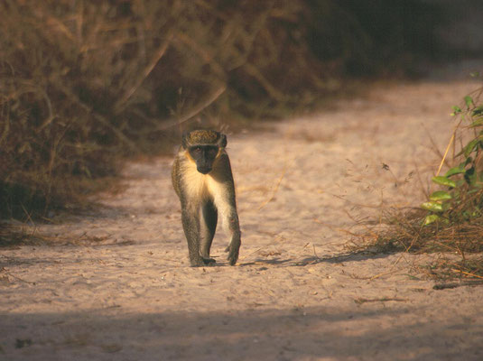Green Vervet Monkey (meerkat)