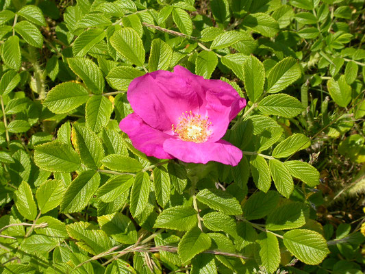 Rosa rubiginosa - Egelantier