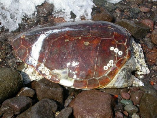 Dikkopschildpad (caretta caretta)