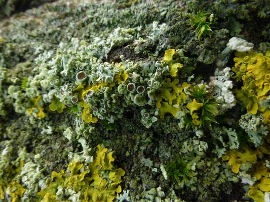 Physconia grisea - Grauw rijpmos