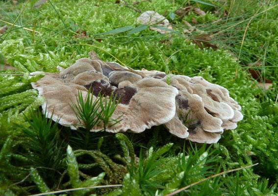 Hydnellum spongiosipes - Fluwelige stekelzwam