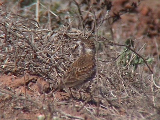 Chestnut-backed Lark