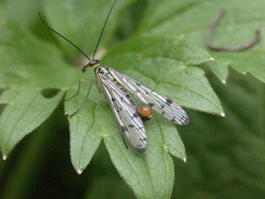 Panorpa germanica - Duitse schorpioenvlieg