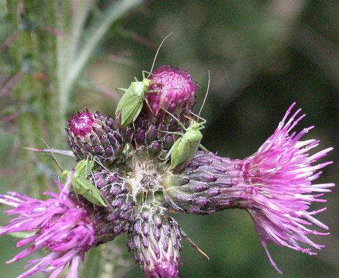 Calocoris affinis - Groene prachtblindwants