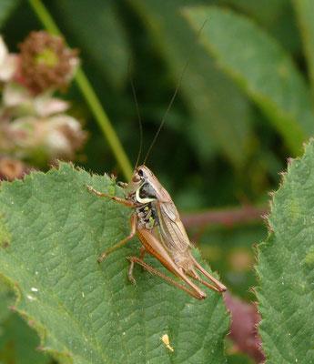Metrioptera roeselii - Greppelsprinkhaan