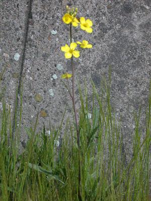 Diplotaxis tenuifolia - Grote zandkool