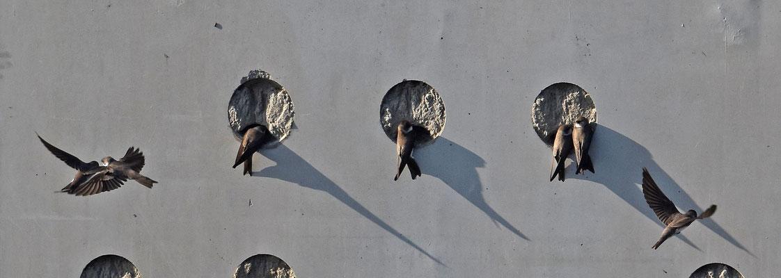 Oeverzwaluw, Waalbos