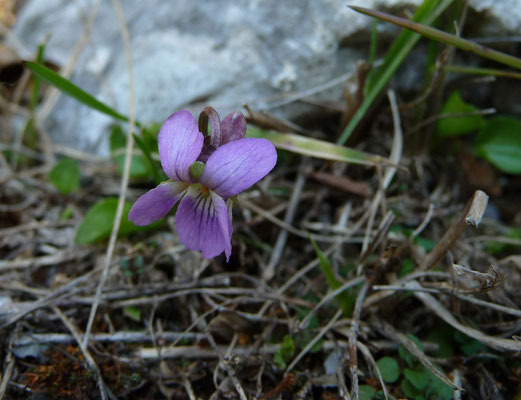 Viola pyrenaica