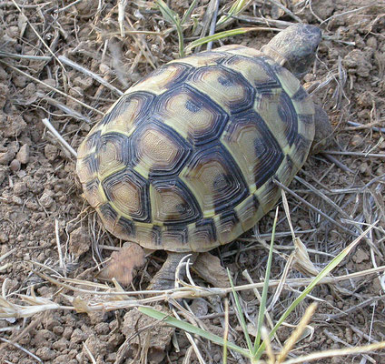 Testudo hermanni (Griekse landschildpad)