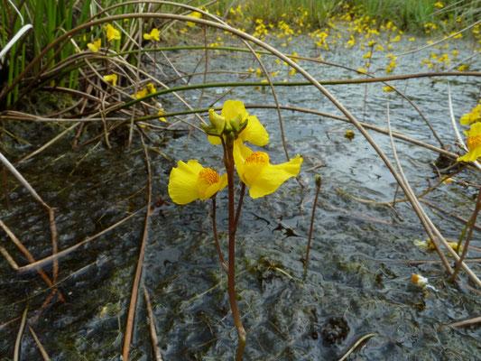 Utricularia vulgaris - Groot blaasjeskruid