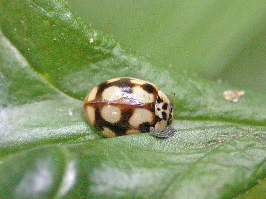 Adalia decempunctata - Tienstippelig lieveheersbeestje