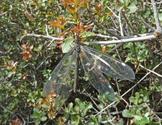 Myrmeleon formicarius - Zwartkopmierenleeuw
