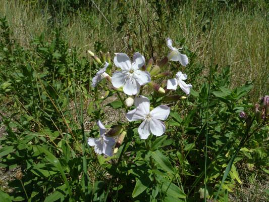Saponaria officinalis - Zeepkruid