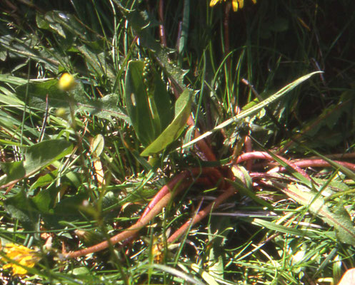 Ophioglossum vulgatum - Addertong