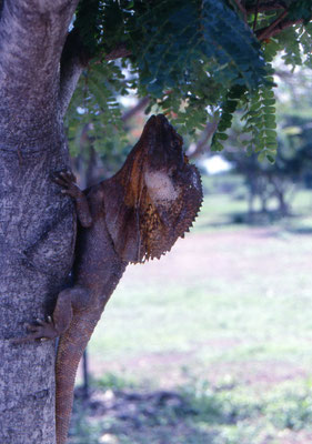 Chlamydosaurus kingii - Frilled Lizard