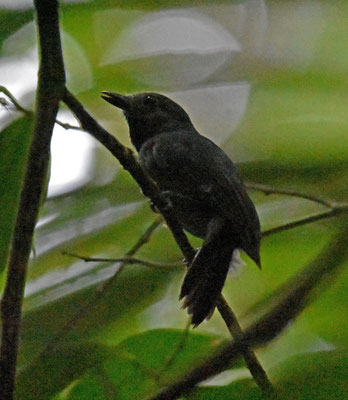 Dusky-throated Antshrike, male