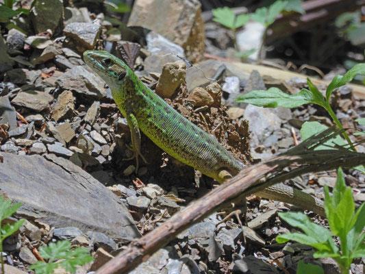 Oostelijke smaragdhagedis (Lacerta viridis)