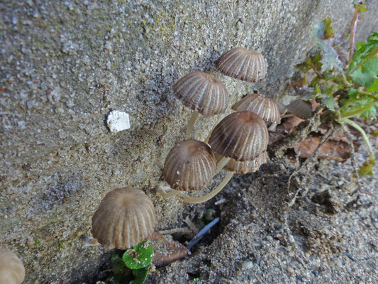 Coprinellus disseminatus - Zwerminktzwam