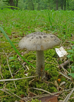 Amanita ceciliae - Prachtamaniet