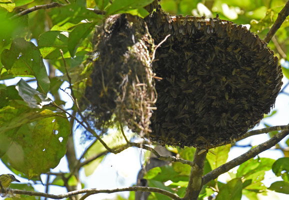Painted Tody-Flycatcher met nest onder wespennest